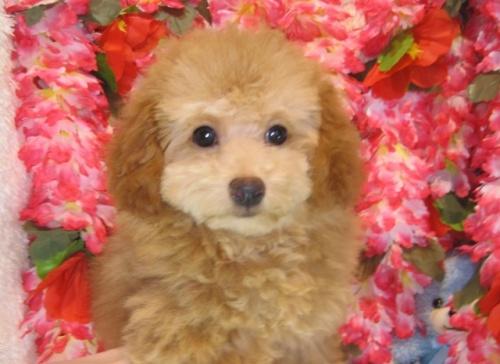 トイプードルの子犬(ID:1249511811)の4枚目の写真/更新日:2017-06-03