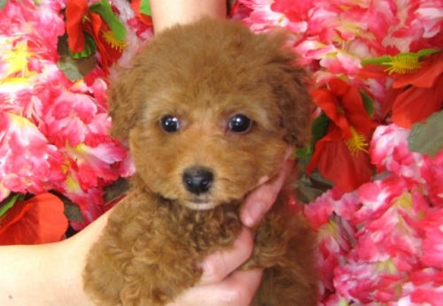 トイプードルの子犬(ID:1249511811)の5枚目の写真/更新日:2017-06-03