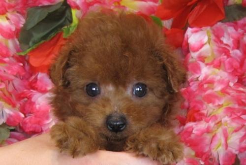 トイプードルの子犬(ID:1249511812)の1枚目の写真/更新日:2017-06-03
