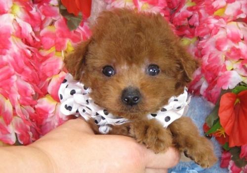 トイプードルの子犬(ID:1249511812)の2枚目の写真/更新日:2017-06-03