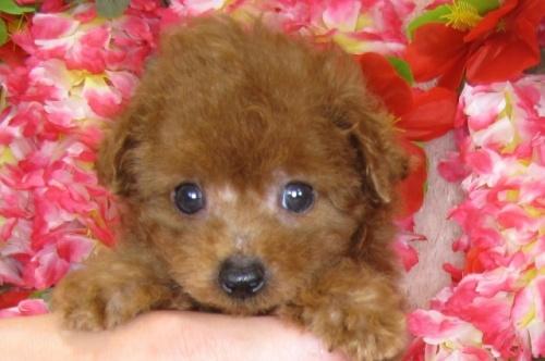 トイプードルの子犬(ID:1249511812)の5枚目の写真/更新日:2017-06-03