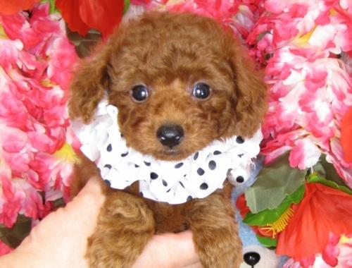 トイプードルの子犬(ID:1249511814)の1枚目の写真/更新日:2017-06-03