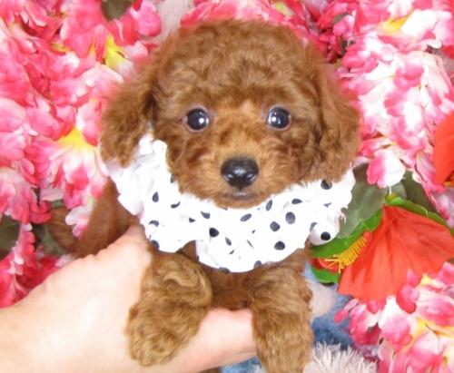 トイプードルの子犬(ID:1249511814)の5枚目の写真/更新日:2017-06-03