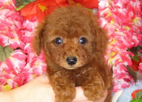 トイプードルの子犬(ID:1249511815)の1枚目の写真/更新日:2017-06-03