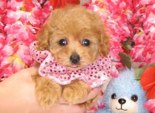 トイプードルの子犬(ID:1249511816)の1枚目の写真/更新日:2017-06-07