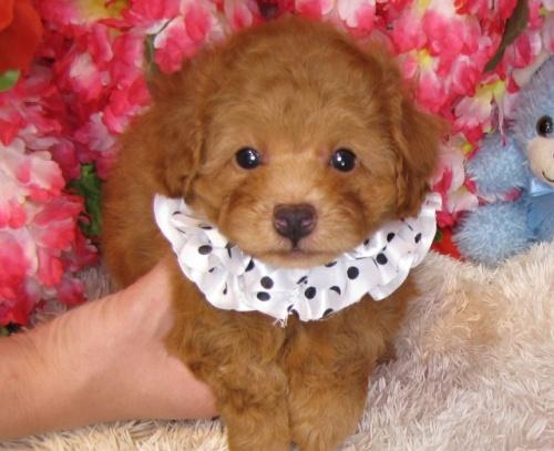 トイプードルの子犬(ID:1249511817)の1枚目の写真/更新日:2017-06-07