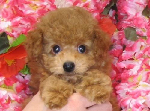 トイプードルの子犬(ID:1249511818)の1枚目の写真/更新日:2017-06-07