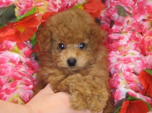 トイプードルの子犬(ID:1249511818)の3枚目の写真/更新日:2017-06-07