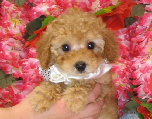 トイプードルの子犬(ID:1249511819)の2枚目の写真/更新日:2017-06-07