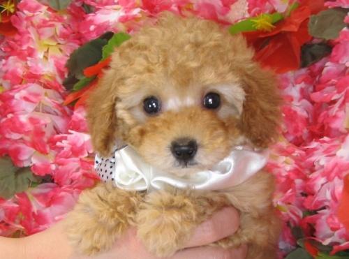 トイプードルの子犬(ID:1249511819)の4枚目の写真/更新日:2017-06-07