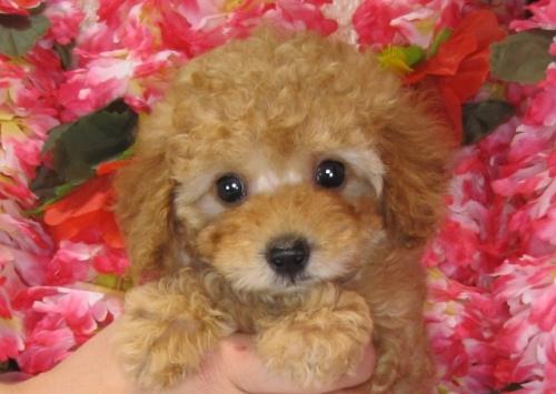 トイプードルの子犬(ID:1249511819)の5枚目の写真/更新日:2017-06-07