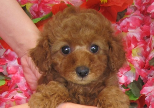 トイプードルの子犬(ID:1249511820)の1枚目の写真/更新日:2017-06-19
