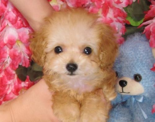 トイプードルの子犬(ID:1249511821)の2枚目の写真/更新日:2017-06-19