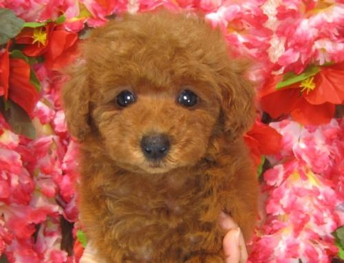 トイプードルの子犬(ID:1249511822)の1枚目の写真/更新日:2017-06-19