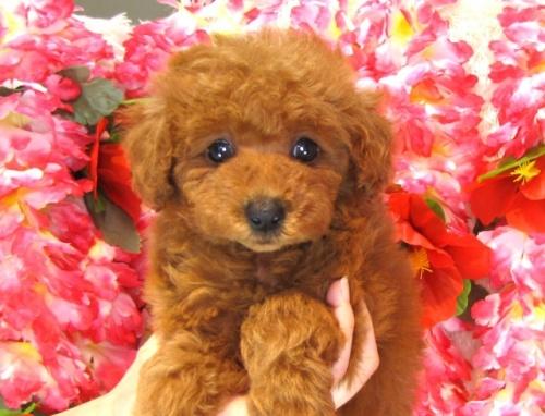 トイプードルの子犬(ID:1249511822)の2枚目の写真/更新日:2017-06-19