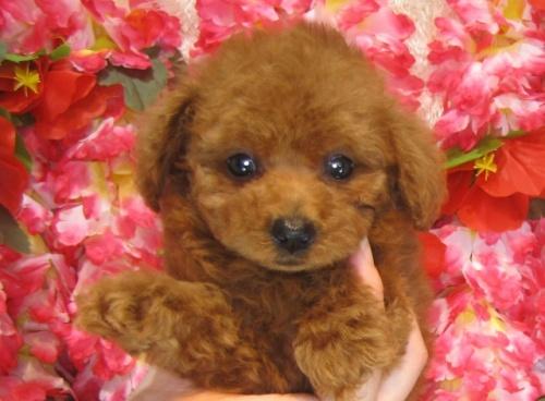 トイプードルの子犬(ID:1249511823)の1枚目の写真/更新日:2017-06-19