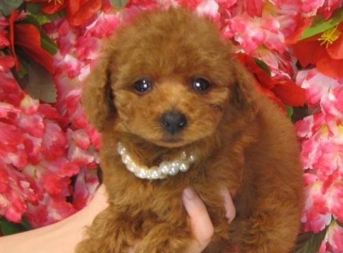 トイプードルの子犬(ID:1249511823)の2枚目の写真/更新日:2017-06-19