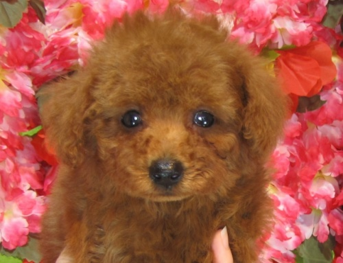 トイプードルの子犬(ID:1249511824)の1枚目の写真/更新日:2017-06-19