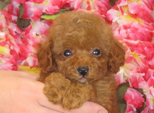 トイプードルの子犬(ID:1249511825)の1枚目の写真/更新日:2017-06-19