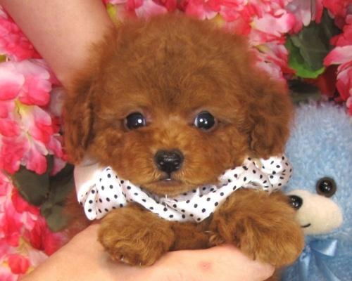 トイプードルの子犬(ID:1249511826)の1枚目の写真/更新日:2017-06-19