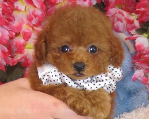 トイプードルの子犬(ID:1249511826)の2枚目の写真/更新日:2017-06-19