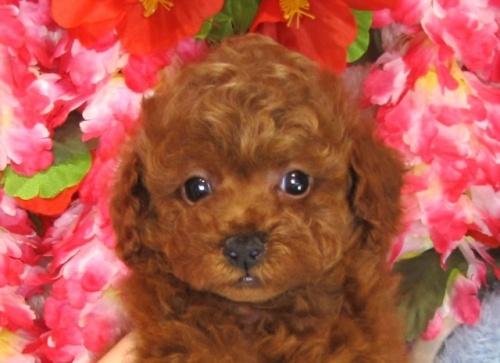 トイプードルの子犬(ID:1249511827)の1枚目の写真/更新日:2017-06-19