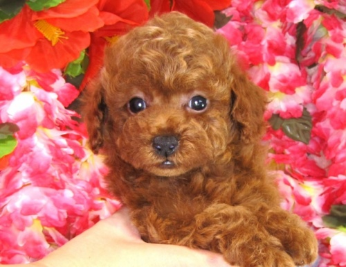 トイプードルの子犬(ID:1249511827)の2枚目の写真/更新日:2017-06-19