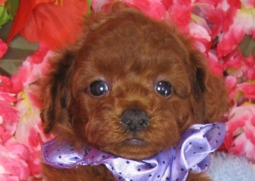 トイプードルの子犬(ID:1249511828)の1枚目の写真/更新日:2017-06-19