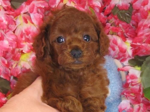 トイプードルの子犬(ID:1249511828)の2枚目の写真/更新日:2017-06-19