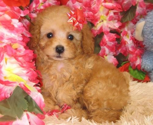 トイプードルの子犬(ID:1249511829)の1枚目の写真/更新日:2017-06-28