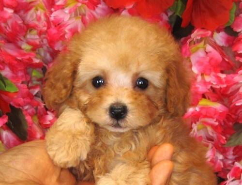 トイプードルの子犬(ID:1249511829)の2枚目の写真/更新日:2017-06-28
