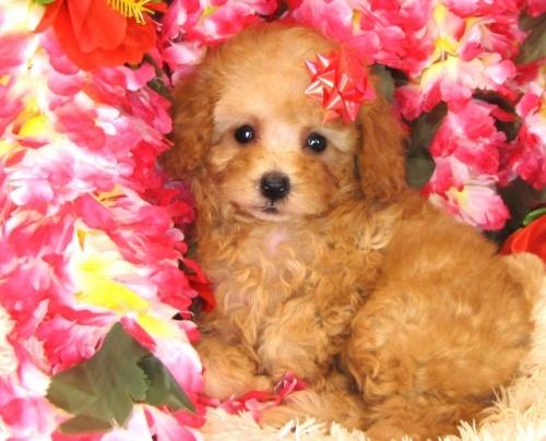 トイプードルの子犬(ID:1249511829)の5枚目の写真/更新日:2017-06-28