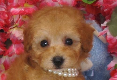 トイプードルの子犬(ID:1249511830)の1枚目の写真/更新日:2017-06-28