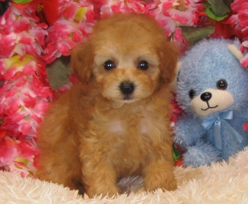 トイプードルの子犬(ID:1249511830)の2枚目の写真/更新日:2017-06-28