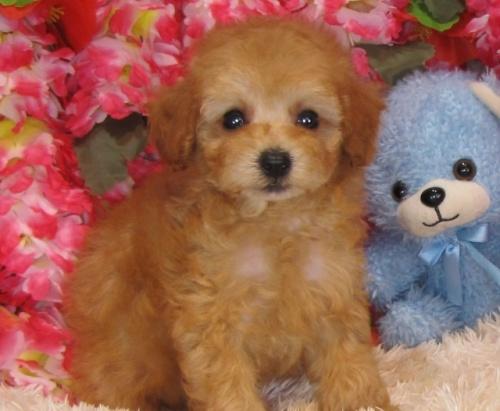トイプードルの子犬(ID:1249511830)の3枚目の写真/更新日:2017-06-28