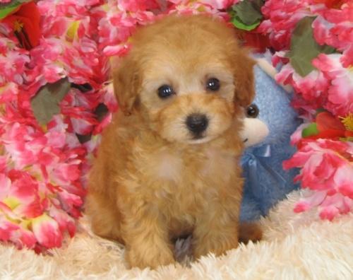 トイプードルの子犬(ID:1249511830)の4枚目の写真/更新日:2017-06-28