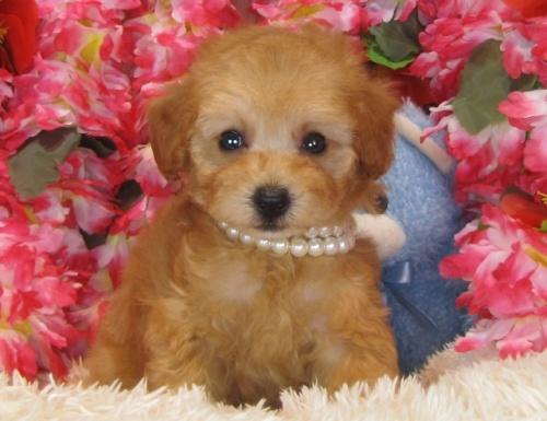 トイプードルの子犬(ID:1249511830)の5枚目の写真/更新日:2017-06-28