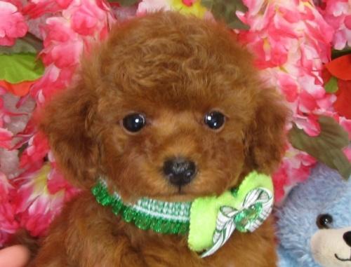 トイプードルの子犬(ID:1249511832)の1枚目の写真/更新日:2017-07-17