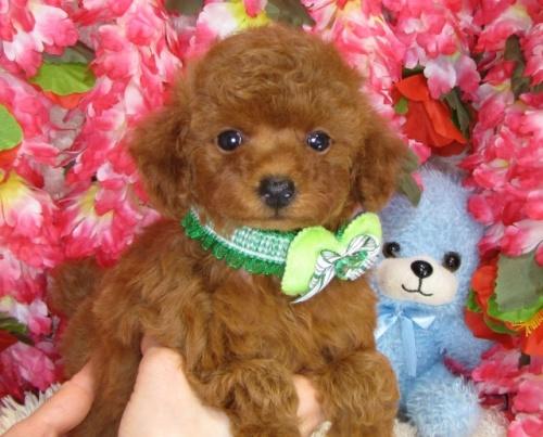 トイプードルの子犬(ID:1249511832)の2枚目の写真/更新日:2017-07-17