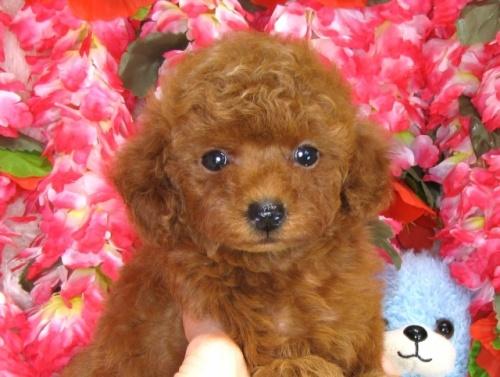 トイプードルの子犬(ID:1249511832)の4枚目の写真/更新日:2017-07-17