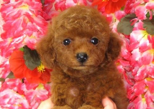 トイプードルの子犬(ID:1249511832)の5枚目の写真/更新日:2017-07-17