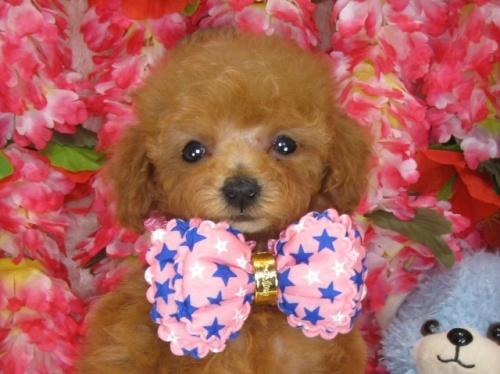 トイプードルの子犬(ID:1249511833)の1枚目の写真/更新日:2017-07-17