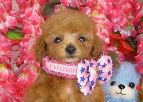 トイプードルの子犬(ID:1249511833)の2枚目の写真/更新日:2017-07-17