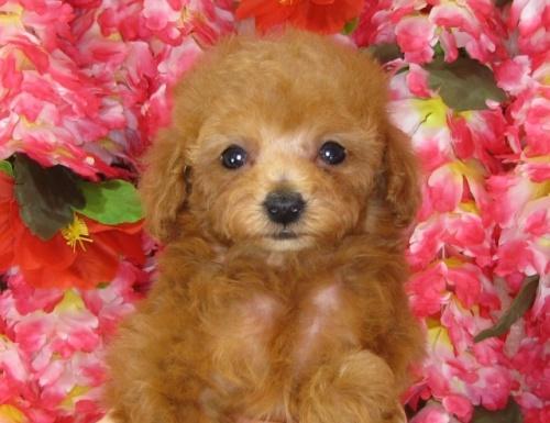 トイプードルの子犬(ID:1249511833)の3枚目の写真/更新日:2017-07-17
