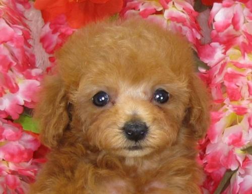 トイプードルの子犬(ID:1249511833)の5枚目の写真/更新日:2017-07-17