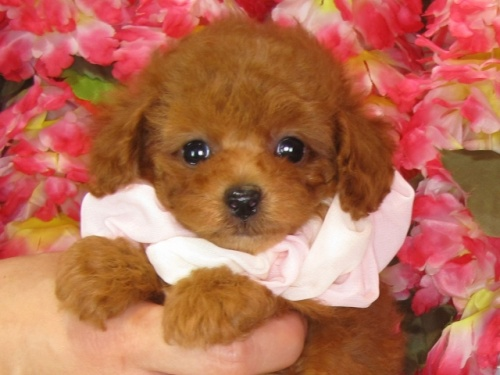 トイプードルの子犬(ID:1249511834)の1枚目の写真/更新日:2017-07-17