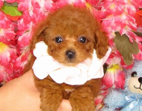 トイプードルの子犬(ID:1249511834)の3枚目の写真/更新日:2017-07-17