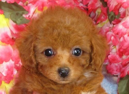 トイプードルの子犬(ID:1249511834)の4枚目の写真/更新日:2017-07-17