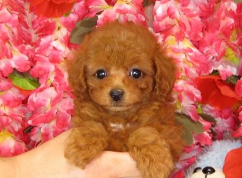 トイプードルの子犬(ID:1249511834)の5枚目の写真/更新日:2017-07-17