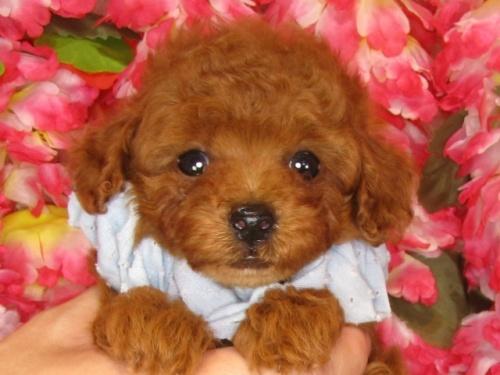 トイプードルの子犬(ID:1249511835)の1枚目の写真/更新日:2017-07-17